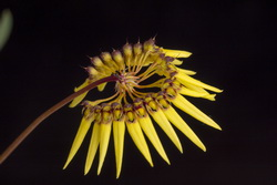 Bulbophyllum polyflorum 42455