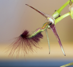 Bulbophyllum barbigerum 40026