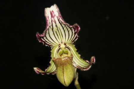 paph fairrianum